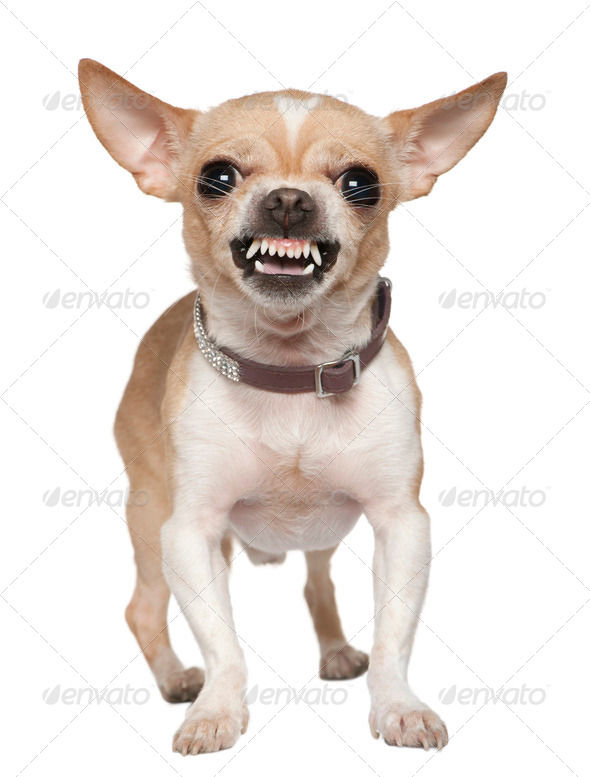 Angry Chihuahua growling, 2 years old, in front of white background - Stock Photo - Images