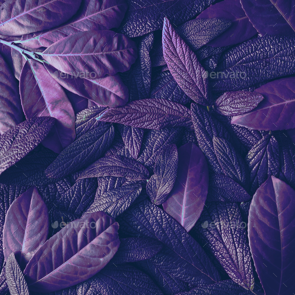 Creative tropic purple leaves layout. Supernatural concept. Flat lay. Ultra violet colors. - Stock Photo - Images