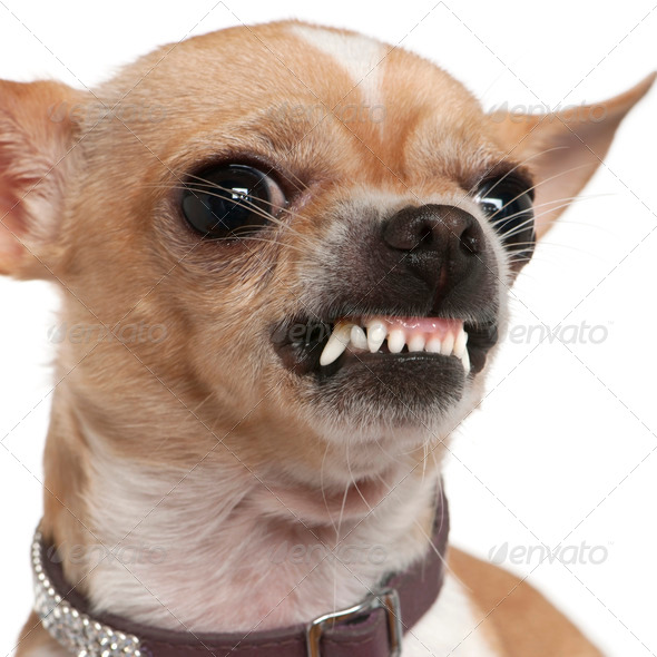 Close-up of angry Chihuahua growling, 2 years old, in front of white background - Stock Photo - Images