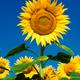 Sunflower field background under blue sky - PhotoDune Item for Sale