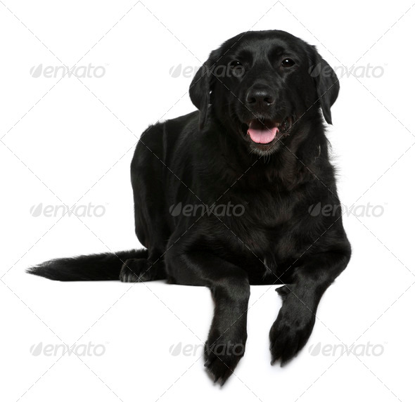 Labrador, 7 years old, in front of white background - Stock Photo - Images