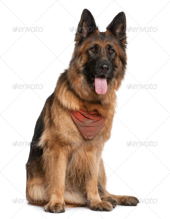 German Shepherd dog, 5 years old, sitting in front of white background - Stock Photo - Images
