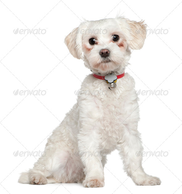 Maltese, 8 months old, sitting in front of white background - Stock Photo - Images