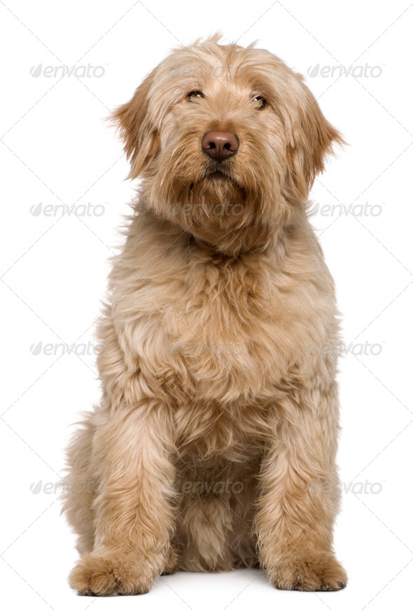 Mixed-breed dog, 8 months old, sitting in front of white background - Stock Photo - Images
