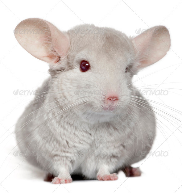 Chinchilla, 5 years old, in front of white background - Stock Photo - Images