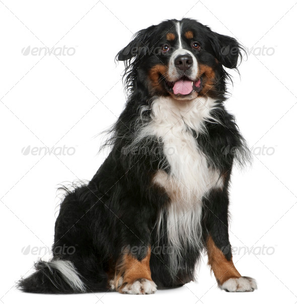 Bernese mountain dog, 5 years old, sitting in front of white background - Stock Photo - Images
