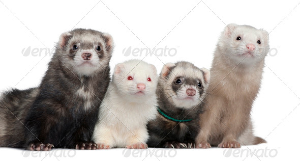 Group of four ferrets, 5 years, 6 years, 3 years, 1 years old, in front of white background - Stock Photo - Images