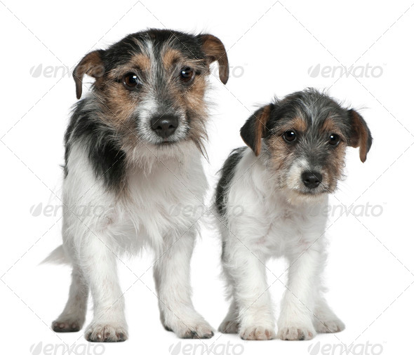 Two Jack Russell Terriers, 4 months and 1 years old, standing in front of white background - Stock Photo - Images