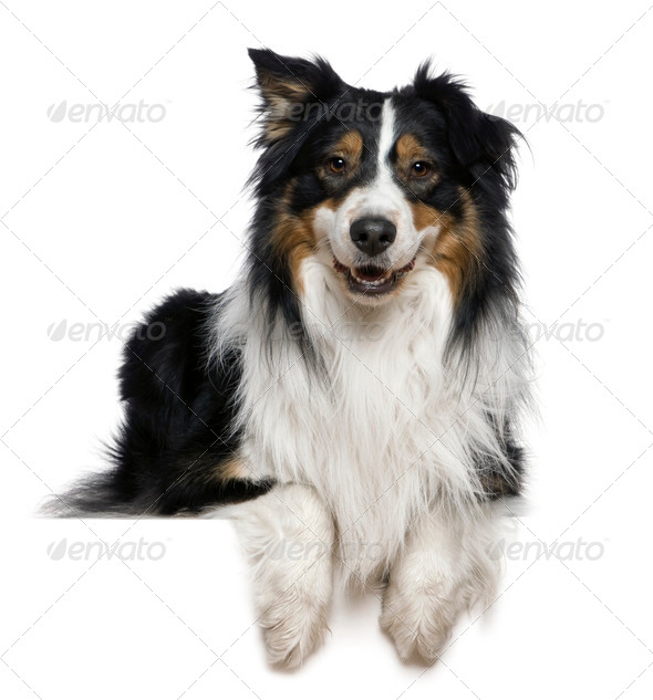 Australian Shepherd dog, 2 years old, in front of white background - Stock Photo - Images