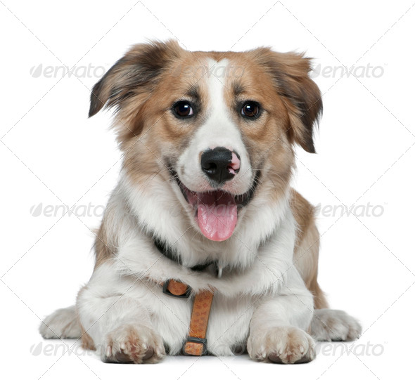 Border Collie, 8 months old, lying in front of white background - Stock Photo - Images