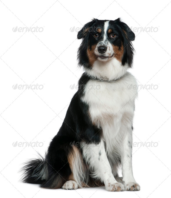 Australian Shepherd dog, 1 year old, sitting in front of white background - Stock Photo - Images