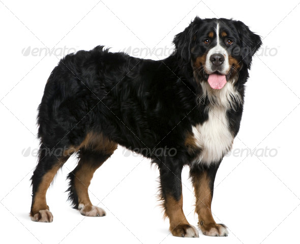 Bernese mountain dog, 2 and a half years old, standing in front of white background - Stock Photo - Images