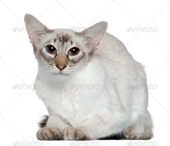 Balinese cat, 2 years old, in front of white background - Stock Photo - Images