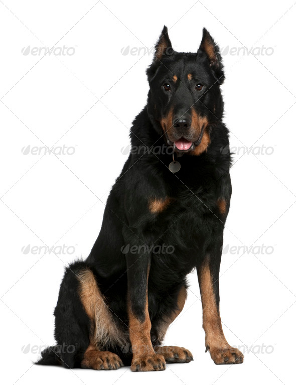 Beauceron dog, 10 years old, sitting in front of white background - Stock Photo - Images