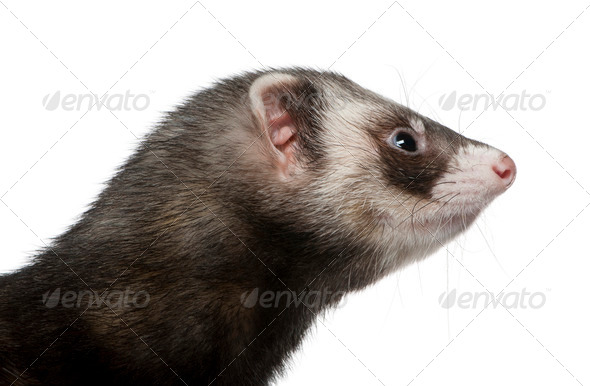 Side view of ferret, 3 years old, in front of white background - Stock Photo - Images