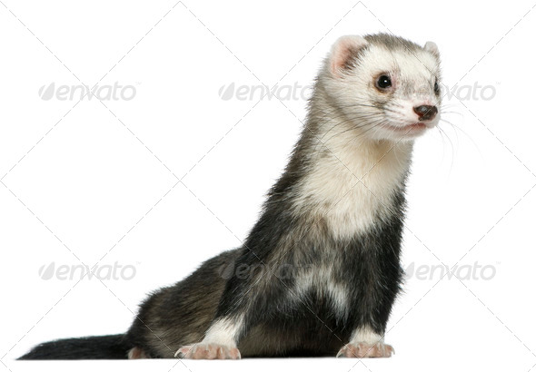 Ferret, 3 and a half years old, in front of white background - Stock Photo - Images