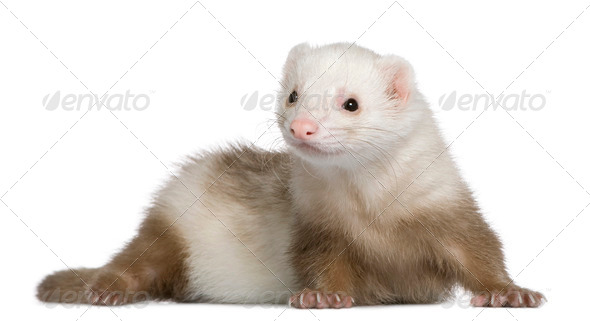 Ferret, 1 and a half years old, in front of white background - Stock Photo - Images