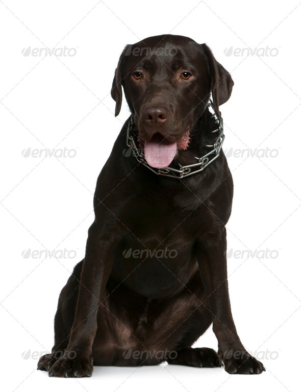 Labrador, 14 months old, sitting in front of white background - Stock Photo - Images