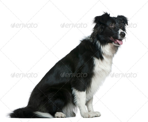 Border Collie, 13 months old, sitting in front of white background - Stock Photo - Images