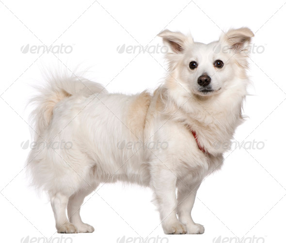 Pomeranian, 4 years old, standing in front of white background - Stock Photo - Images
