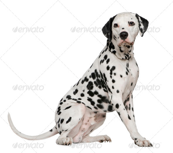 Dalmatian, 4 years old, sitting in front of white background - Stock Photo - Images