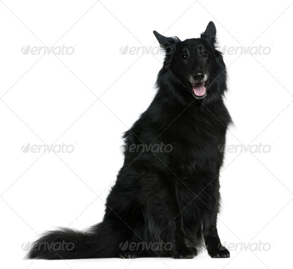Belgian Shepherd dog, Groenendael, 7 years old, sitting in front of white background - Stock Photo - Images