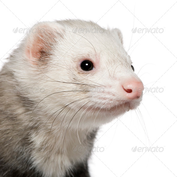 Close-up of ferret, 5 years old, in front of white background - Stock Photo - Images