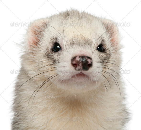 Close-up of ferret, 3 years old, in front of white background - Stock Photo - Images