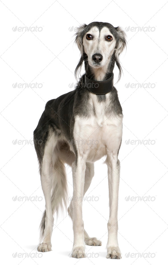 Saluki dog, 12 years old, standing in front of white background - Stock Photo - Images