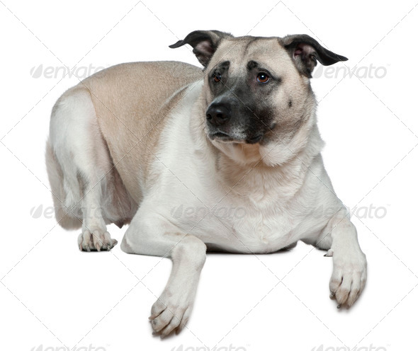 Anatolian shepherd dog, 5 years old, in front of white background - Stock Photo - Images