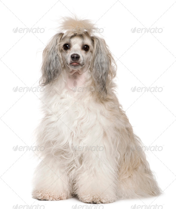 Chinese Crested Dog, 2 years old, sitting in front of white background - Stock Photo - Images