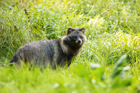 Wild raccoon dog standing in front of tall green vegetation in summer - Stock Photo - Images
