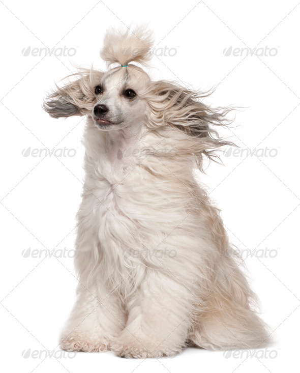 Chinese Crested Dog with hair in the wind, 2 years old, sitting in front of white background - Stock Photo - Images