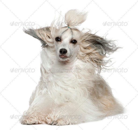 Chinese Crested Dog with hair in the wind, 2 years old, in front of white background - Stock Photo - Images