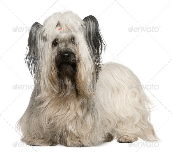 Skye Terrier, 3 and a half years old, in front of white background - Stock Photo - Images