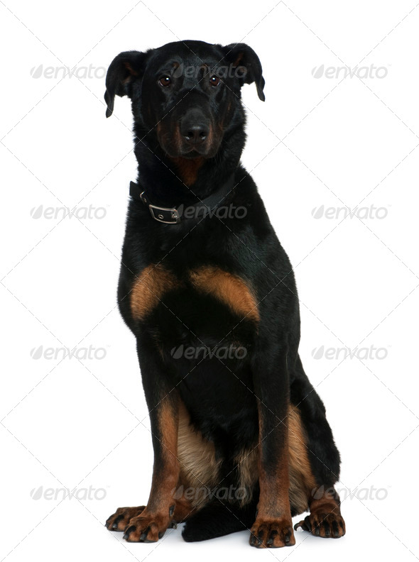 Beauceron dog, 3 and a half years old, sitting in front of white background - Stock Photo - Images