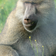 Baboon - Vancouver Zoo, Canada - PhotoDune Item for Sale