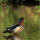 Wood Duck - Stanley Park, Vancouver - PhotoDune Item for Sale