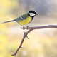 Great tit on branch on blurred background - PhotoDune Item for Sale