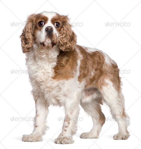 Cavalier King Charles Spaniel, 7 years old, standing in front of white background - Stock Photo - Images