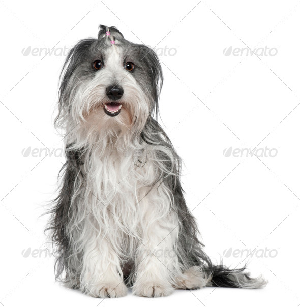 Border collie mixed with a Maltese dog, 2 years old, sitting in front of white background - Stock Photo - Images