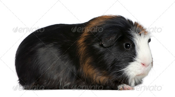 Guinea pig, 1 and a half years old, in front of white background - Stock Photo - Images