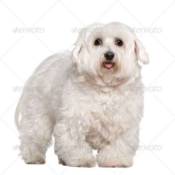 Maltese dog, 5 years old, standing in front of white background - Stock Photo - Images