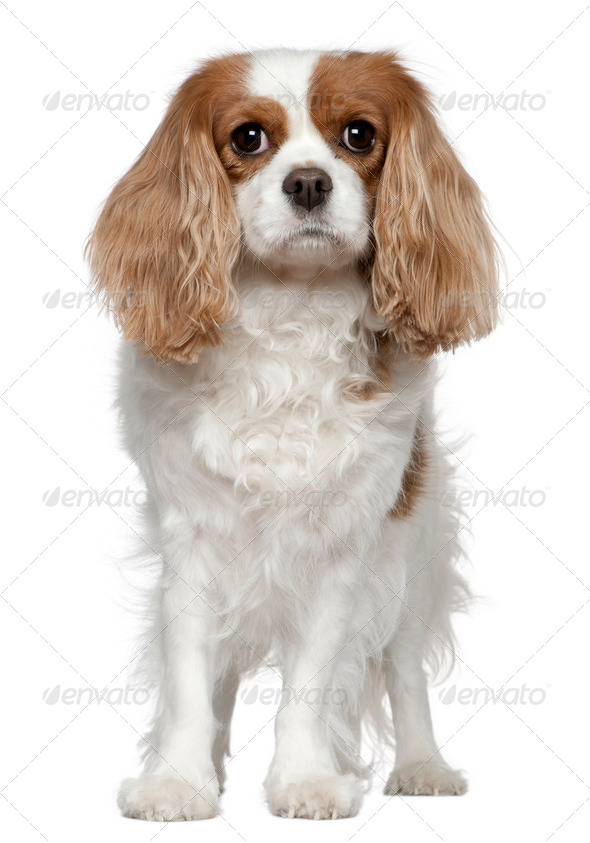 Cavalier King Charles Spaniel, 4 years old, standing in front of white background - Stock Photo - Images