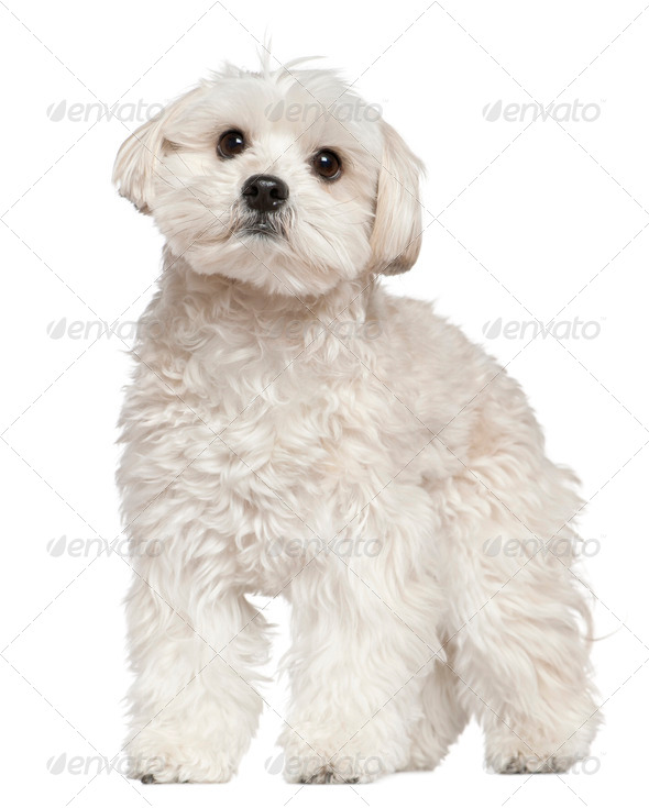 Mixed-breed dog, 4 years old, standing in front of white background - Stock Photo - Images