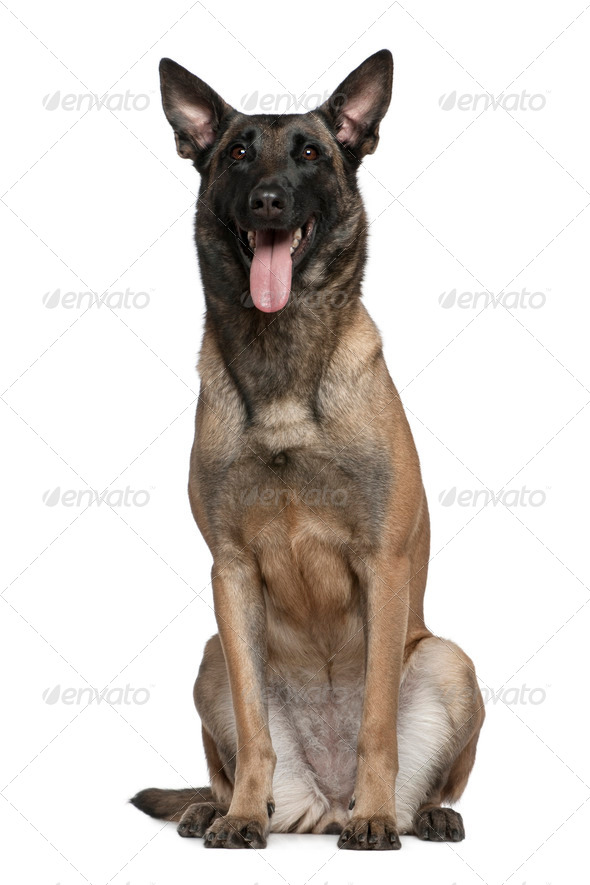 Belgian Shepherd dog, 3 and a half years old, sitting in front of white background - Stock Photo - Images