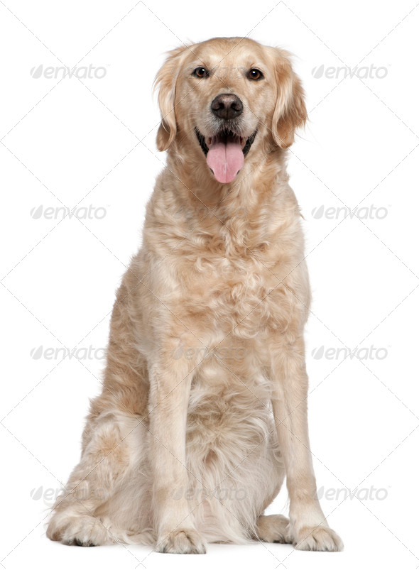 Golden Retriever, 7 years old, sitting in front of white background - Stock Photo - Images