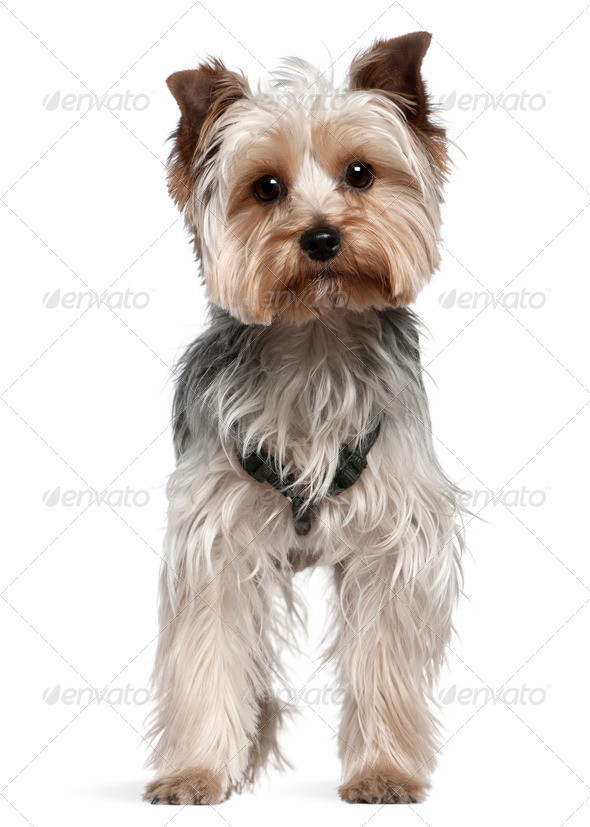 Yorkshire Terrier, 13 months old, standing in front of white background - Stock Photo - Images