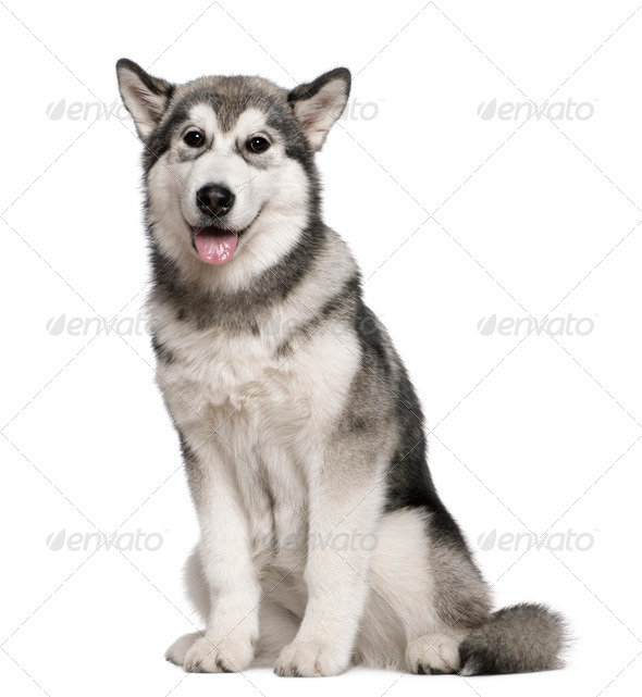 Alaskan Malamute, 4 months old, sitting in front of white background - Stock Photo - Images