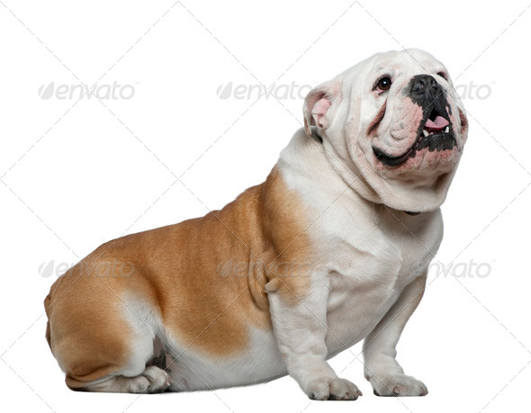 English Bulldog, 1 year old, sitting in front of white background - Stock Photo - Images